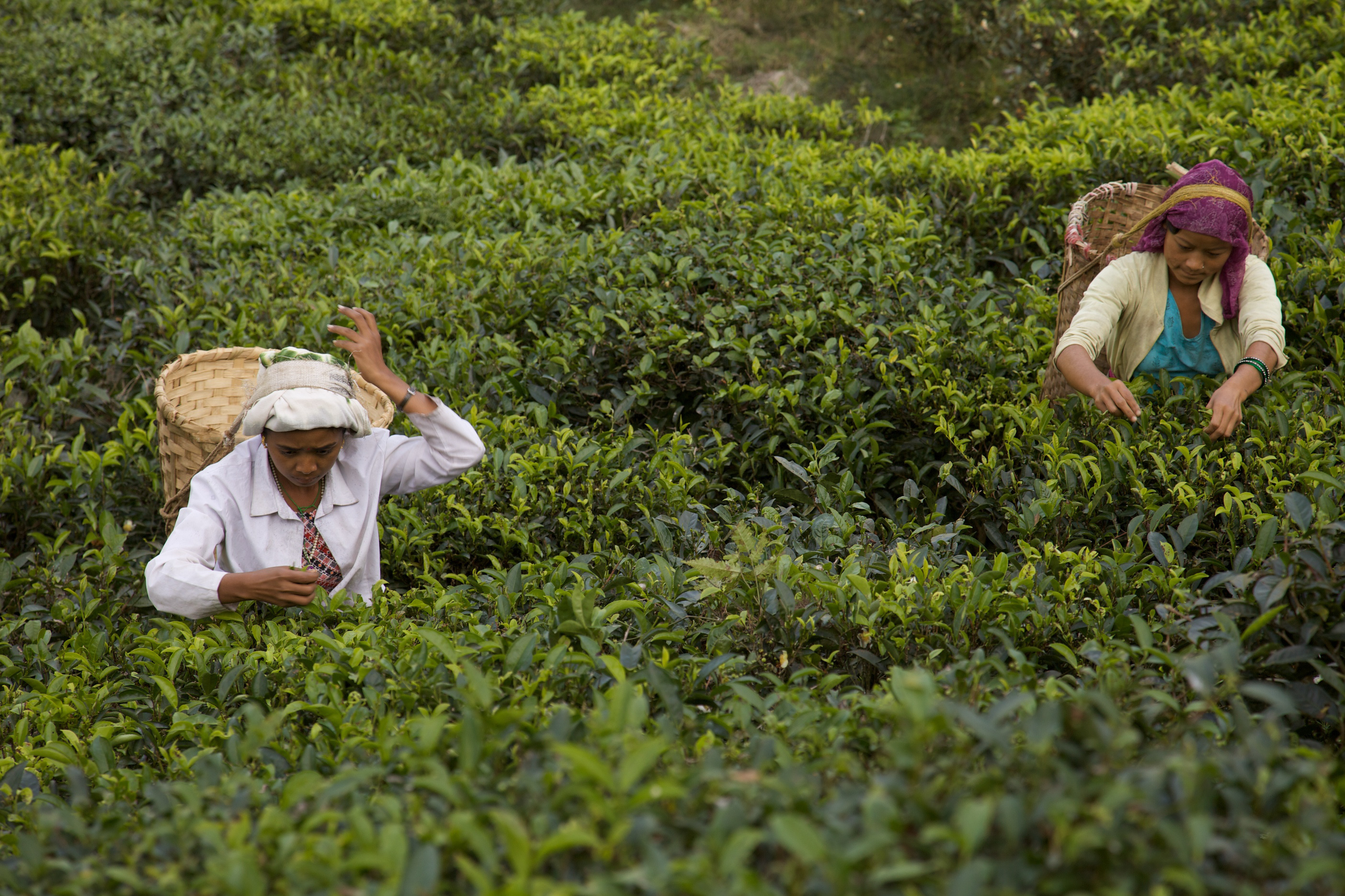 Autumn Flush: The Best Darjeeling Tea You'll (Likely Never) Taste | WGBH | Craving Boston