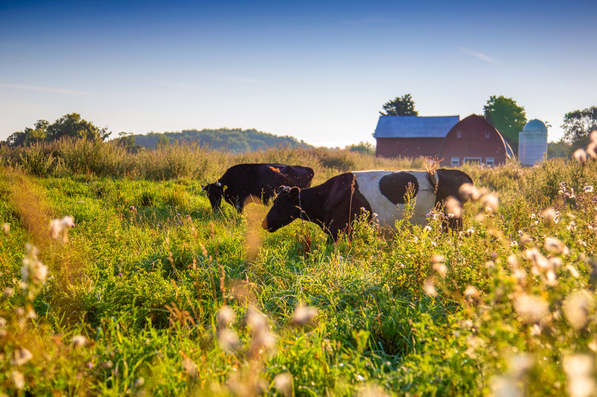 Cows graze at Dharma Lea Farm in Sharon Springs, N.Y.   Advocates of grass-grazing cattle say it's better for the environment and the animals. But there's another upside: Grass-fed meat and dairy fetch a premium that can help small farms stay viable.