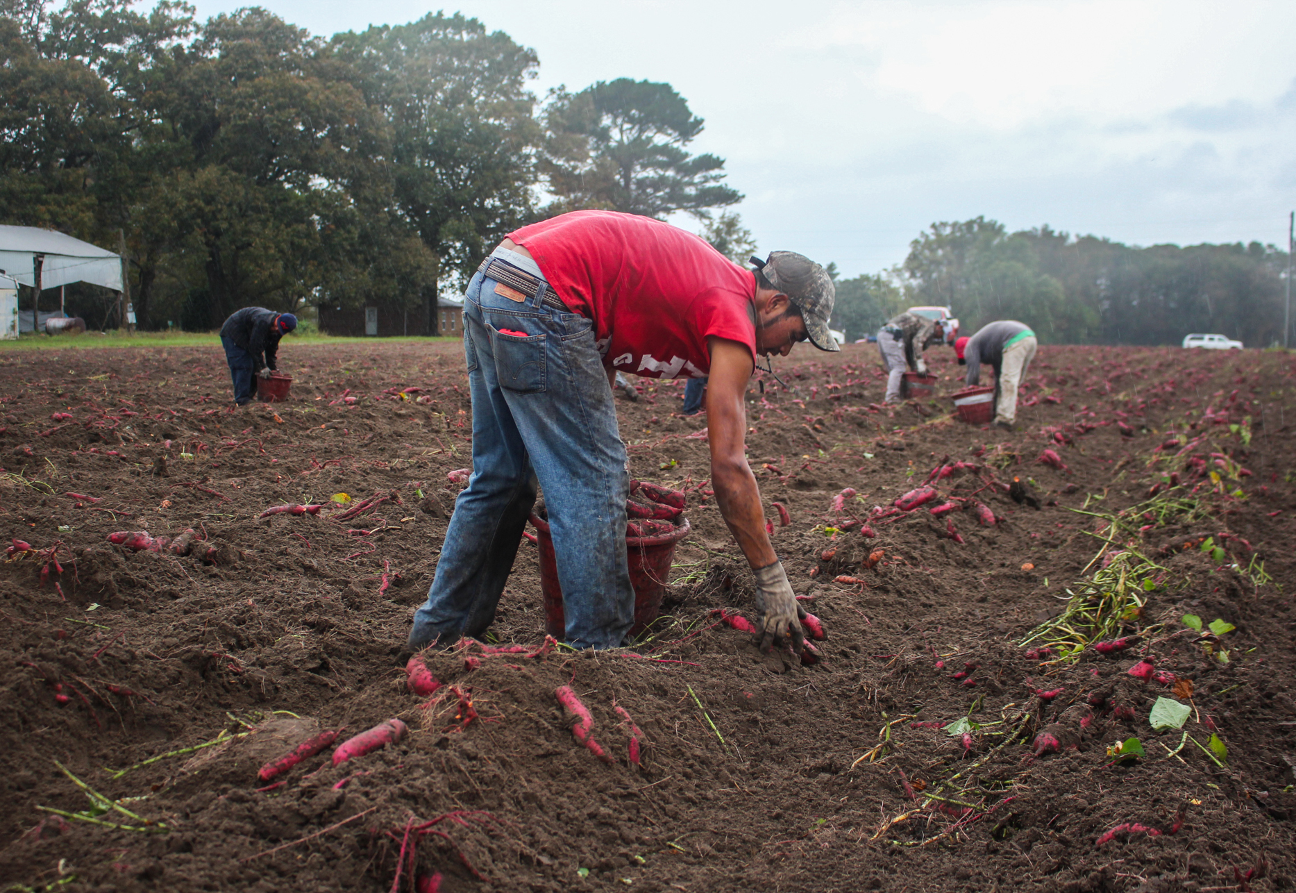 Guest workers harvest much of North Carolina's sweet potato crop, including at the fields of Burch Farms, in Faison, N.C.