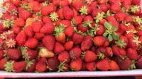 It's Time to Pick Fresh Strawberries in New England! | CRAVING BOSTON | WGBH